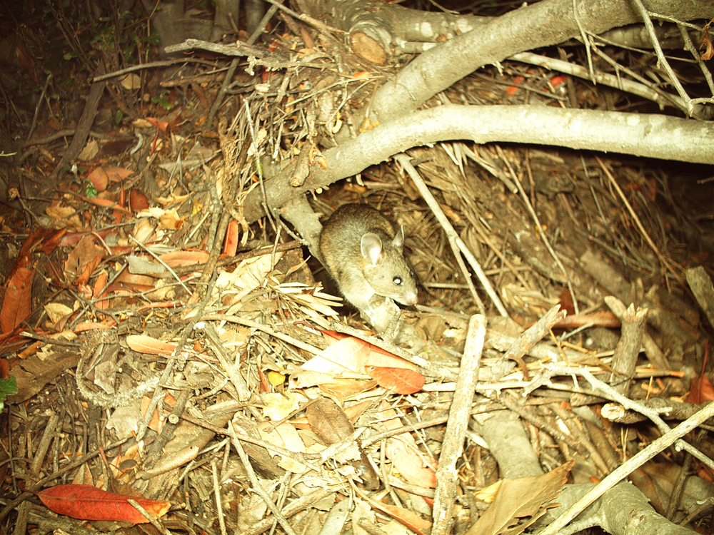 This is the only known GNG woodrat nest.