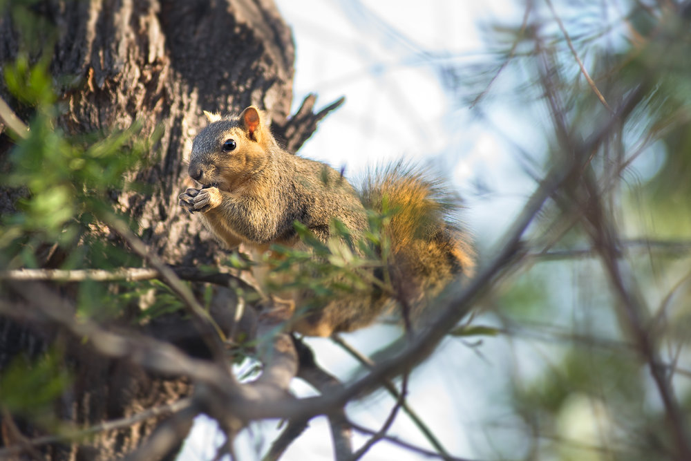 Adult Eastern fox squirrel.
