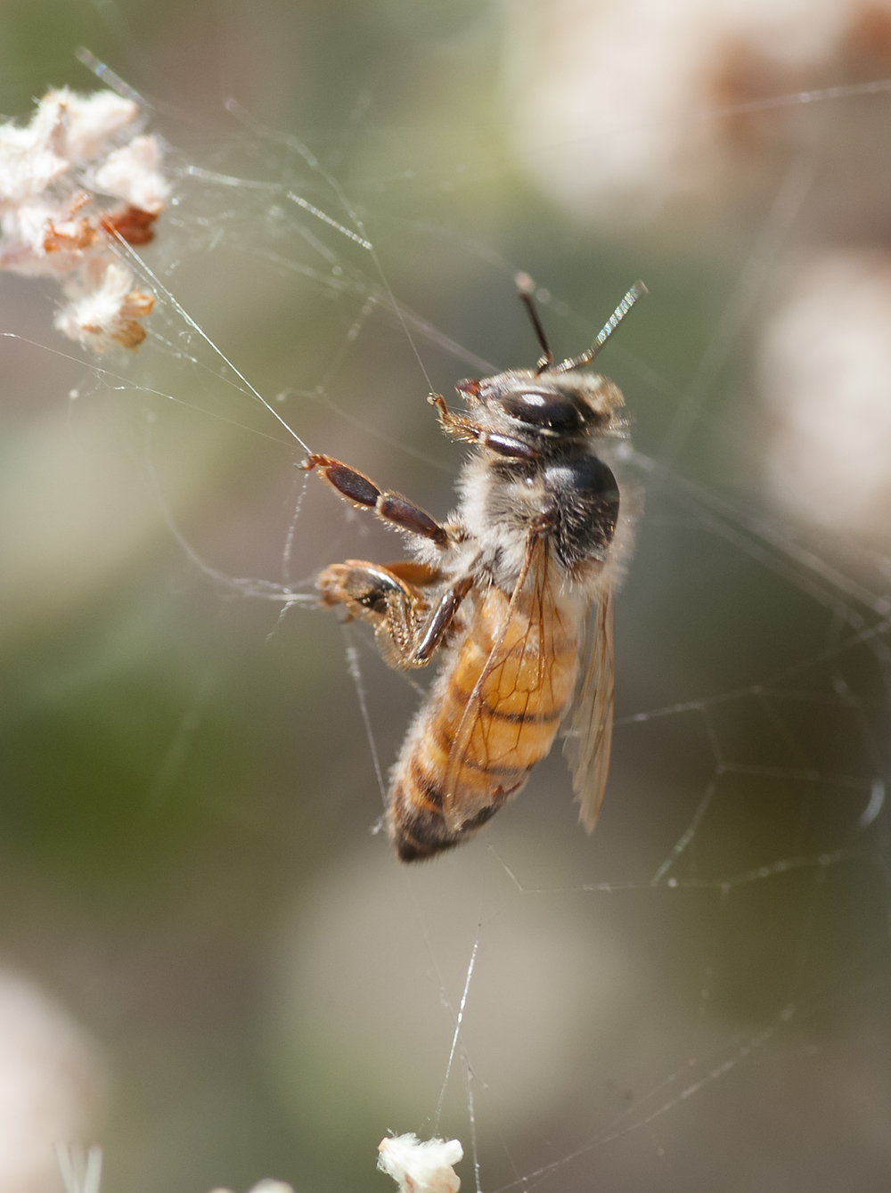 This aging female Honey Bee Apis mellifera struggles to free herself from a trash-spider's web.
