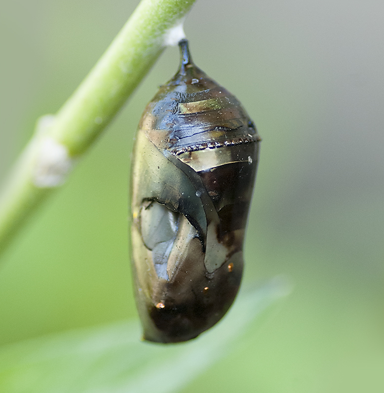 OE infection was fatal to this pupae.