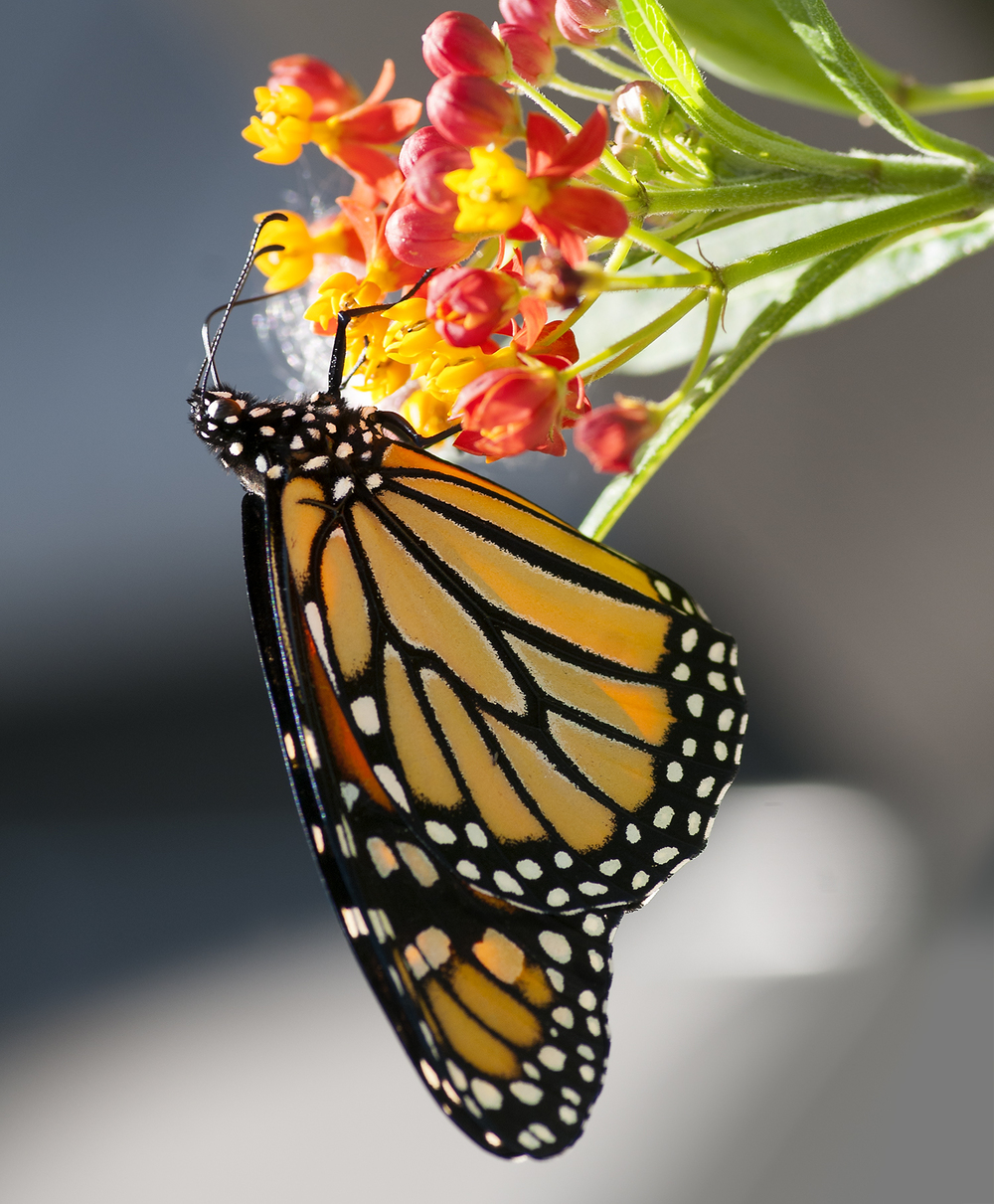 Adult Monarch - Danaus plexippus ♀