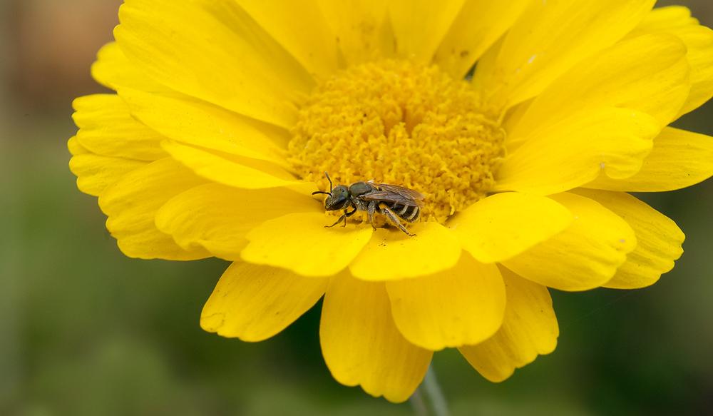Sweat Bee - Halictus tripartitus