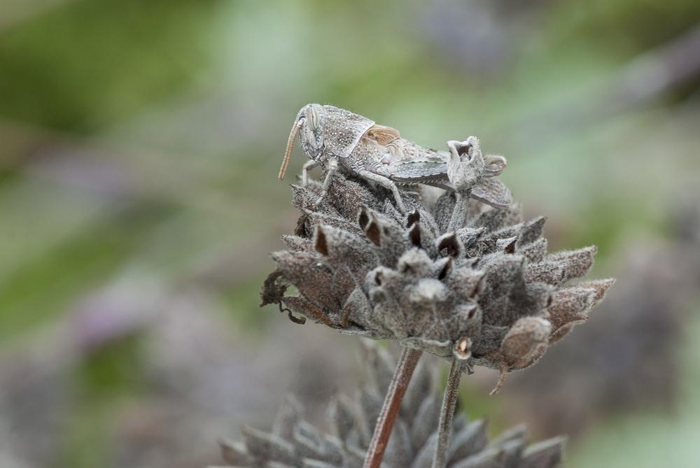 Pallid-winged Grasshopper - Trimerotropis pallidipennis