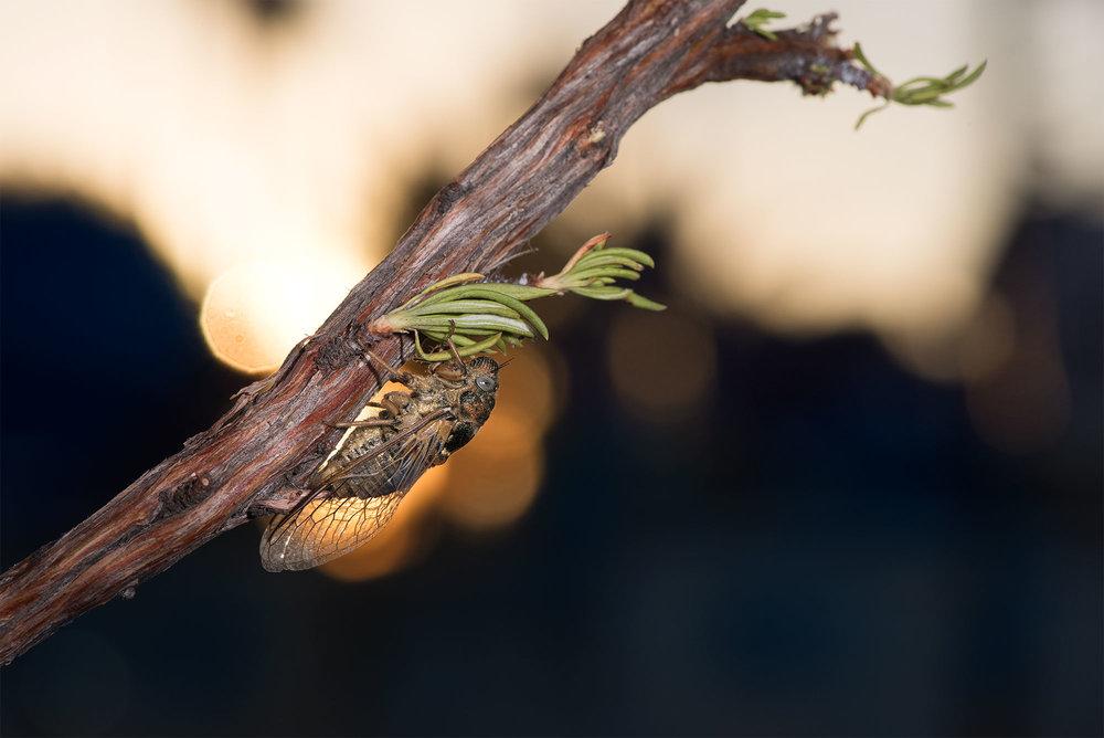 Cicadidae - Okanagana vanduzeei