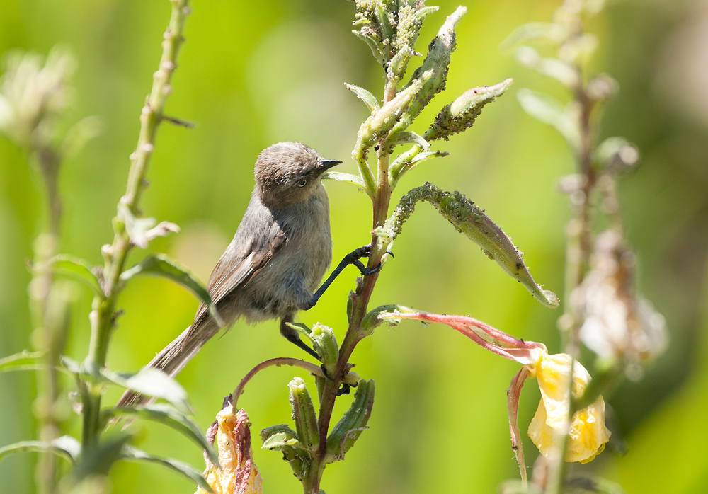Bushtit having an aphid meal.
