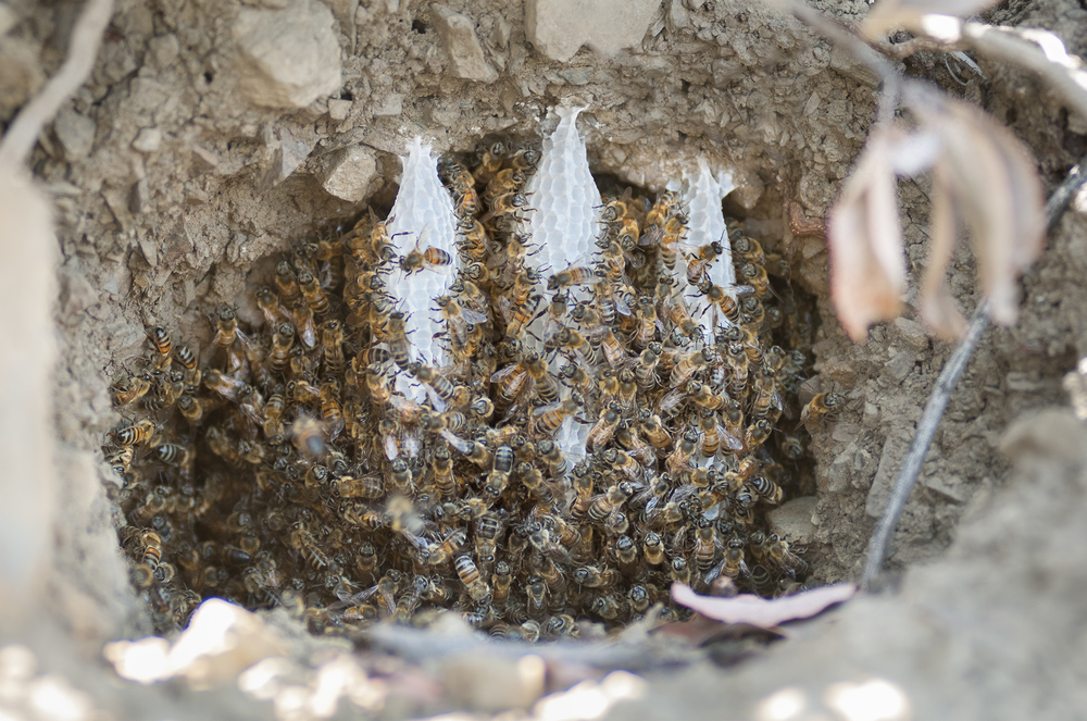 European Honey Bees are not too particular on where they choose to reside.  This hive was found using the entrance of an abandoned mammal den on the garden's east hillside.