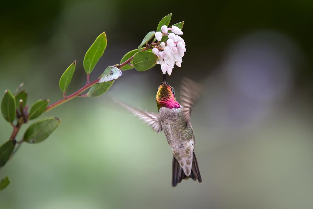 Anna's Hummingbird feeding from Arctostaphylos bakeri flowers.