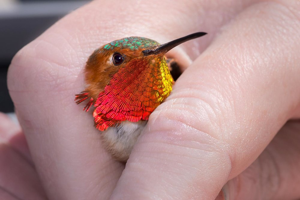 Adult male Allan's Hummingbird