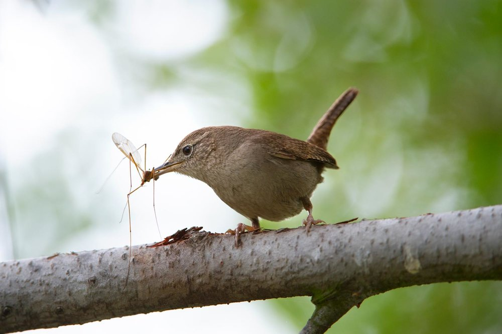 "House Wren with crane fly - organic ""pest"" control at its best!"