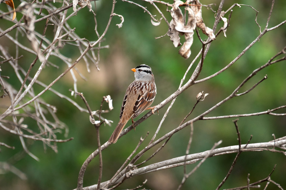 "Adult ""Gambel's"" White-crowned sparrow."