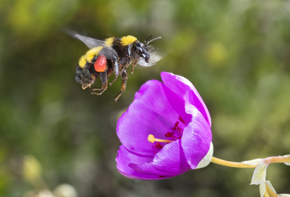 Sonoran bumble bee - Bombus sonorus ♀