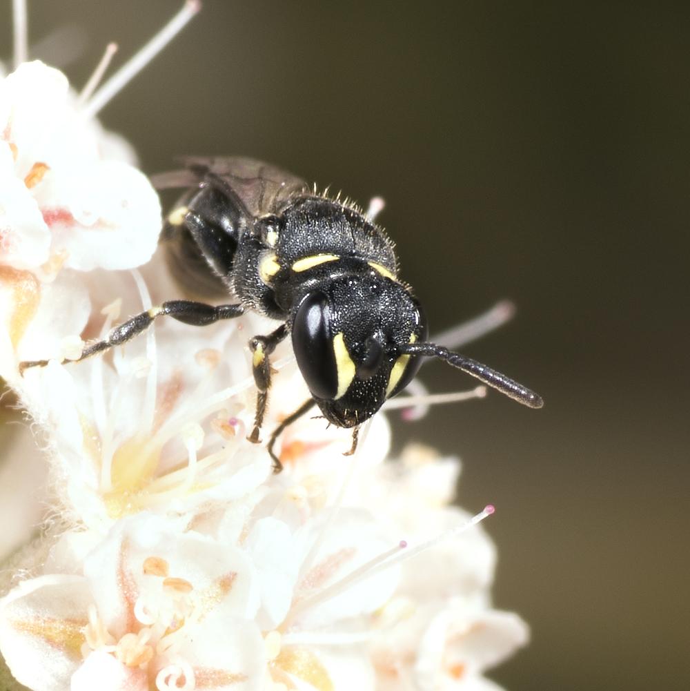 Hylaeus sp.♀