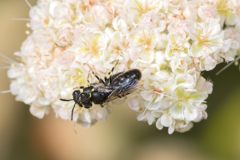 Hylaeus sp. ♂♀ mating