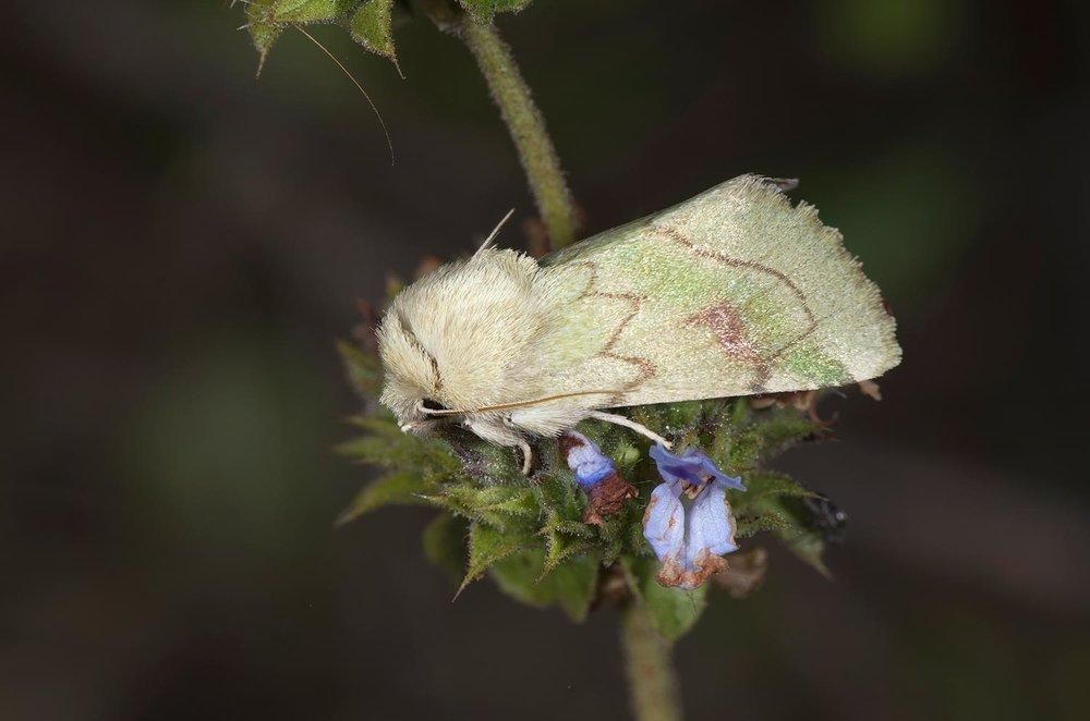 Elder Moth - Zotheca tranquilla onSalvia