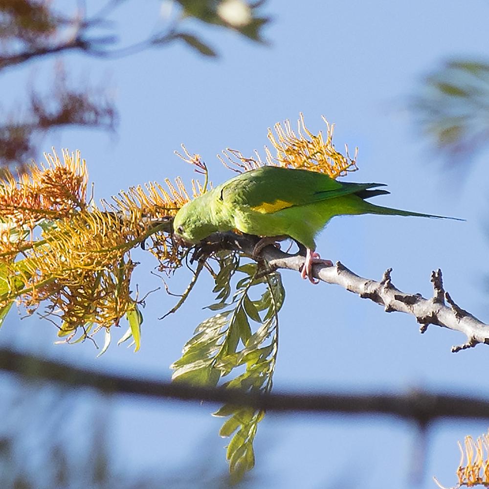 Yellow-chevroned parakeet - Brotogeris chiriri