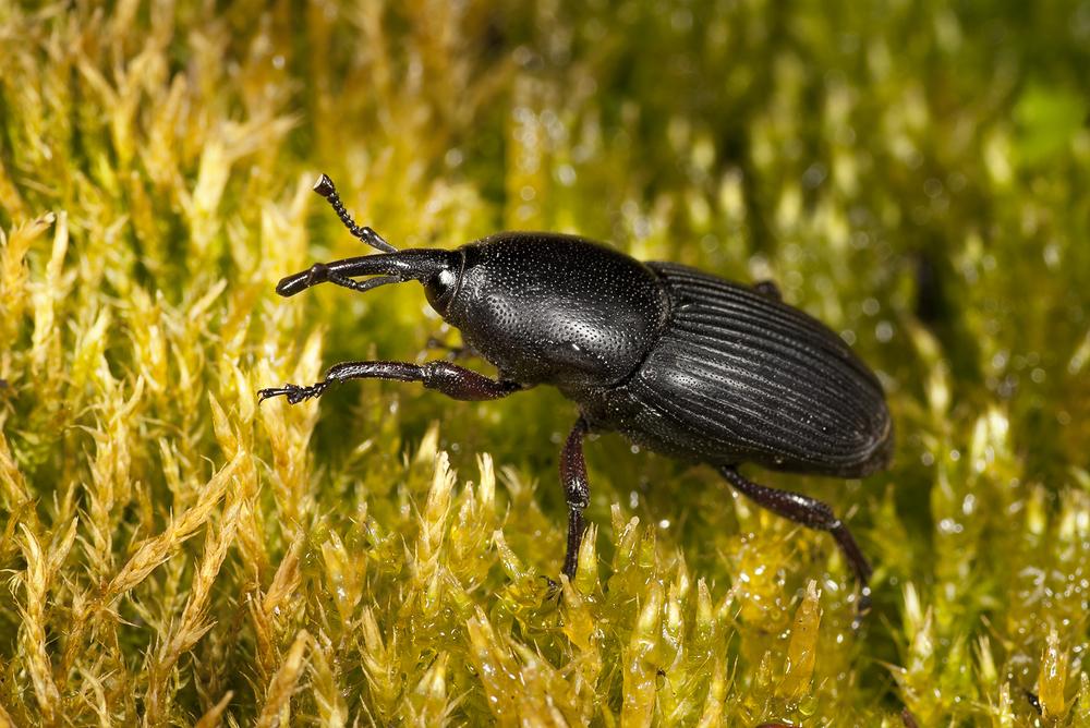 Yucca Weevil — Scyphophorus yuccae