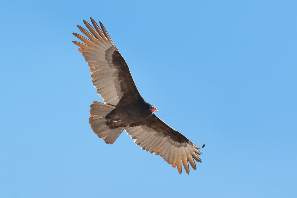 Turkey Vulture -Cathartes aura