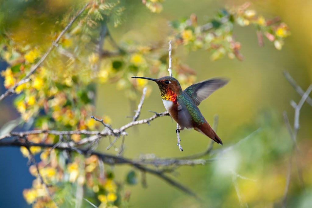 susan-gottlieb-hummingbird-image