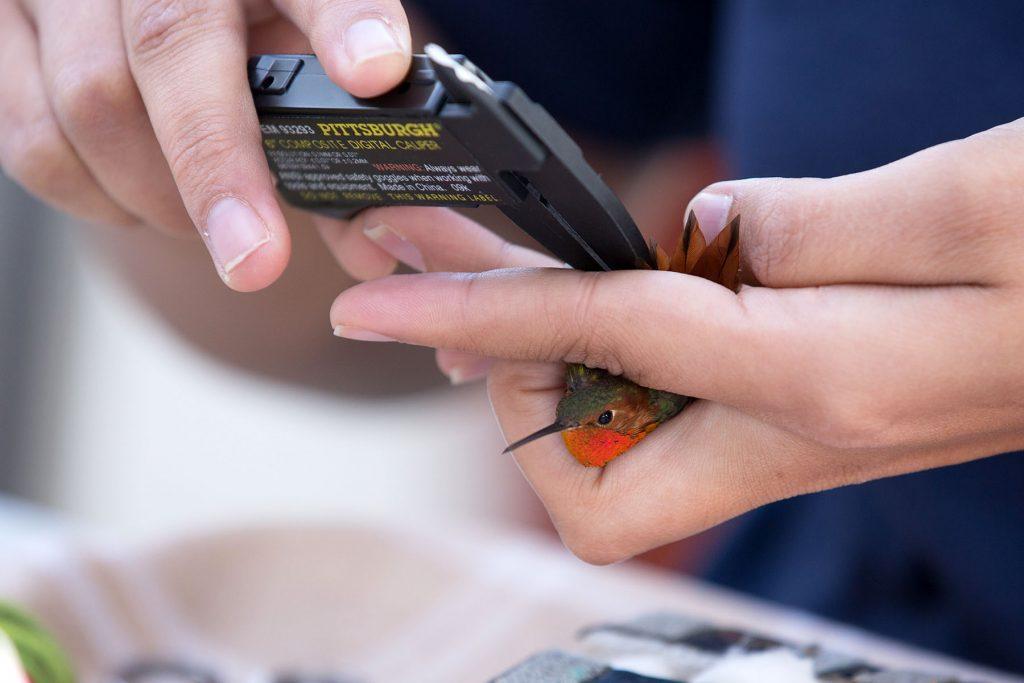 UC Davis Hummingbird Banding Research